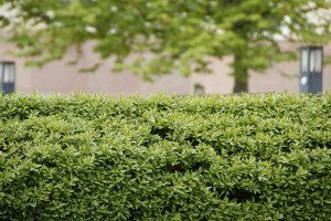 hedge-trimming service
